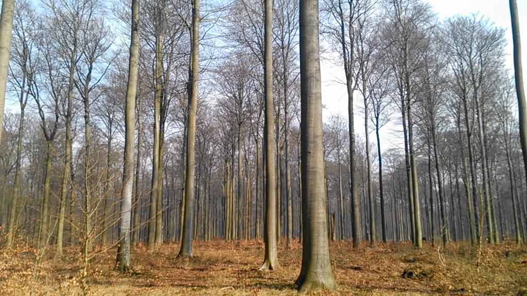 Arbres Forêt de Soignes photo Philippe Schoepen